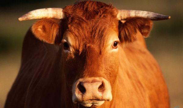 Оглушение скота. Способы и устройства.